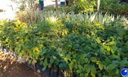 VEJA VÍDEO: Barra do Garças incentiva plantio de árvores na Semana do Meio Ambiente