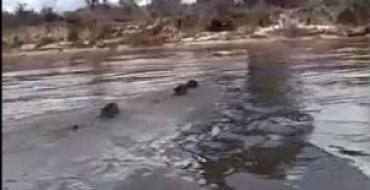 VEJA VÍDEO: Três onças são filmadas atravessando rio Araguaia
