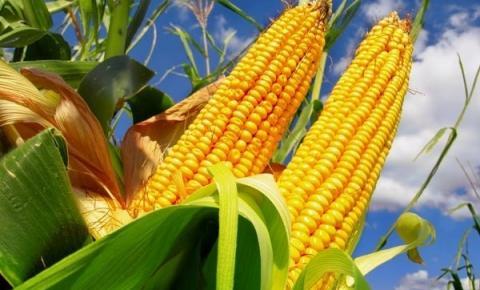 Região Araguaia se consolida como a 3ª maior área com milho de Mato Grosso